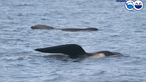 Long-finned pilot whales in the Mediterranean Sea
