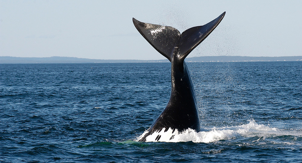 Photo of a right whale fluke, Bay of Fundy. Photo credit: Jessica Taylor, Anderson Cabot Center for Ocean Life, New England Aquarium