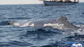 The Sperm Whales of the Mediterranean
