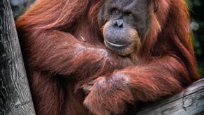 Deya Ward on living with Orangutans