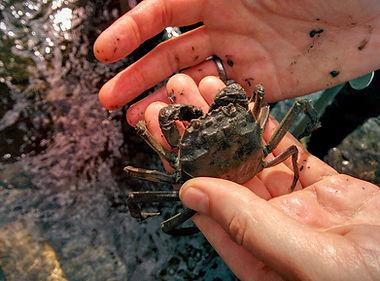 Chinese mitten crab (Eriocheir sinensis)