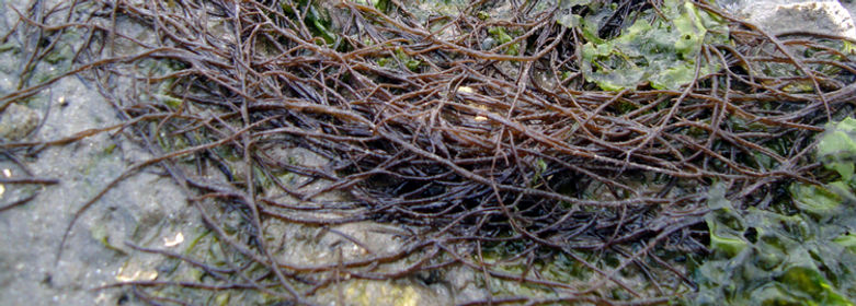 Red Alga Gracilaria vermiculophylla