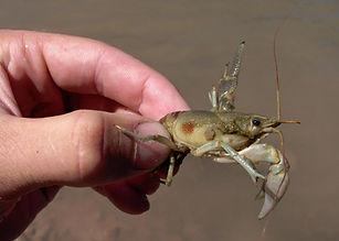 Rusty crayfish, Orconectes rusticus, high priority, invasive species