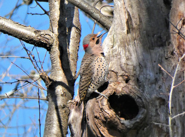 Yellow-shafted Northern Flicker