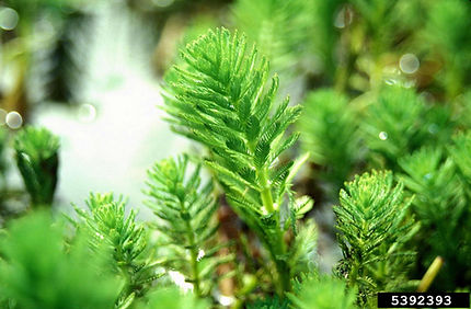 Parrot feather (Myriophyllum aquaticum)