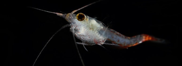 Bloody red shrimp (Hemimysis anomala)