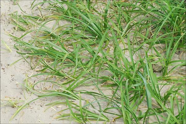 Asiatic Sand Sedge (Carex kobomugi)