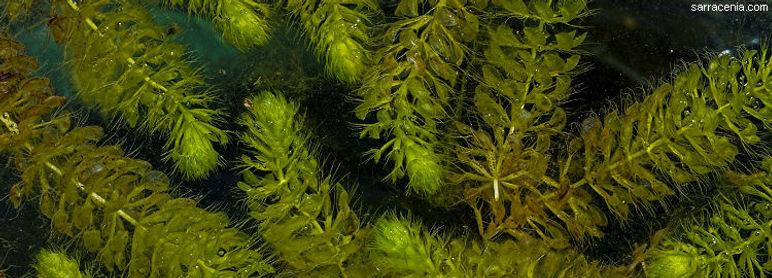 Waterwheel (Aldrovanda vesiculosa)