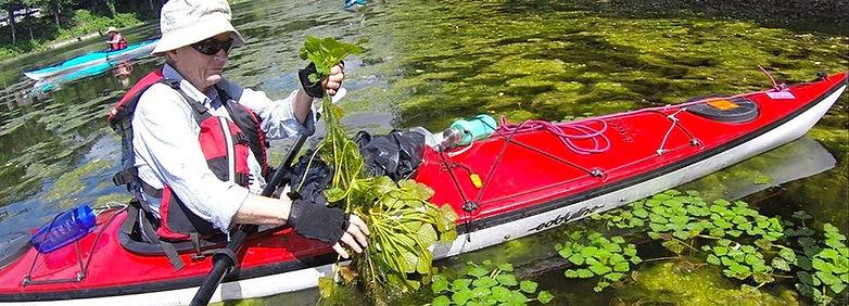 Alligatorweed (Alternanthera philoxeroides)