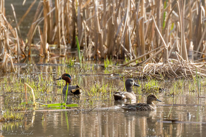 Green-winged Teal and Blue-winged Teal