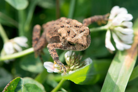 Eastern American Toad (Juvenile)