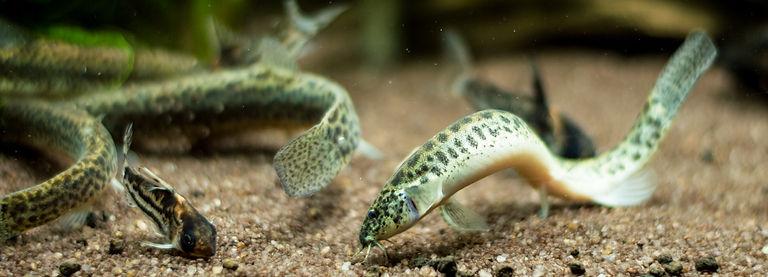 Oriental weatherfish (Misgurnus anguillicaudatus)