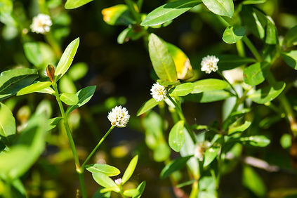 Alligatorweed (Alternanthera philoxeroides)