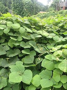 Kudzu (Pueraria montana var. lobata), Pennsylvania noxious weed