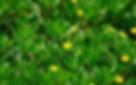 Creeping water-primrose (Ludwigia peploides)