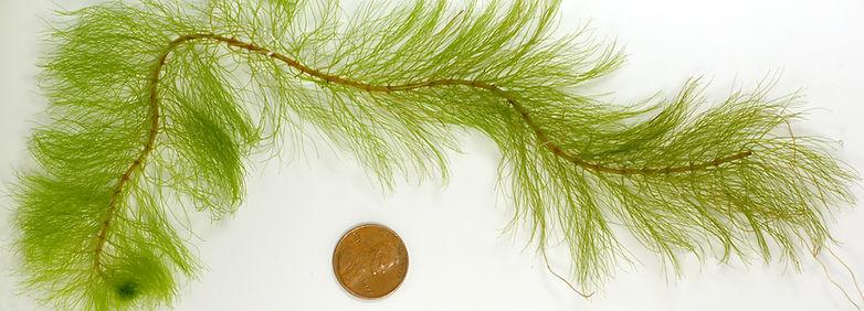 Variable-leaf milfoil (Myriophyllum heterophyllum)