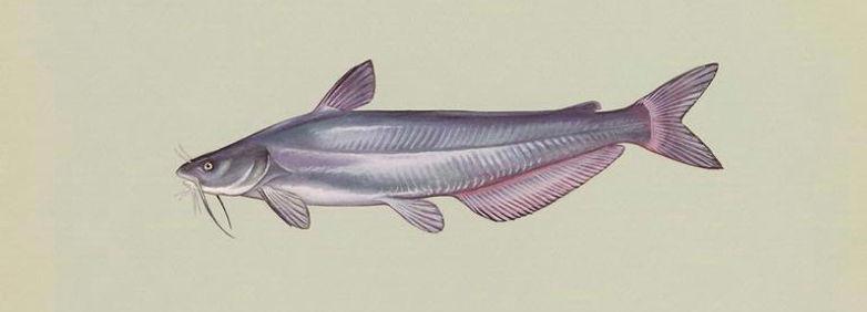 Blue Catfish (Ictalurus furcatus)