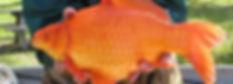 Goldfish (Carassius auratus)