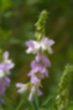 Goatsrue, Galega officinalis, Pennsylvania noxious weed