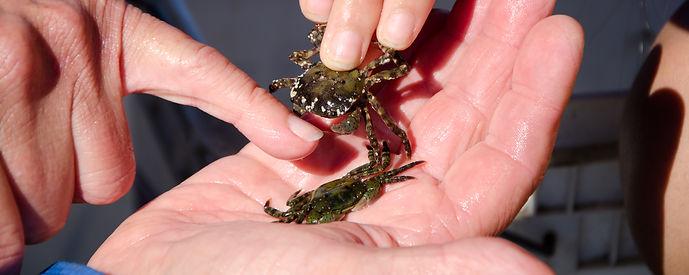 Asian Shore Crab (Hemigrapsus sanguineus)