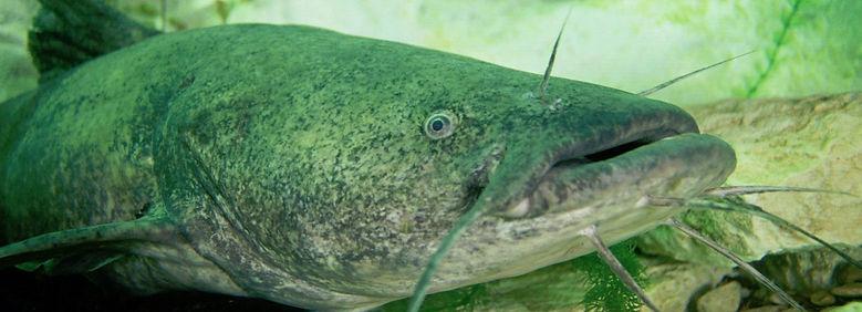 Flathead catfish (Pylodictis olivaris)