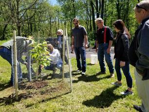 Chestnut tree planting