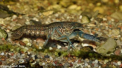 Marbled Crayfish (Procambarus fallax f. virginalis)