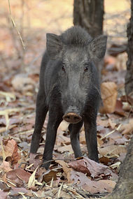 Feral swine, Sus scrofa, high priority, invasive species