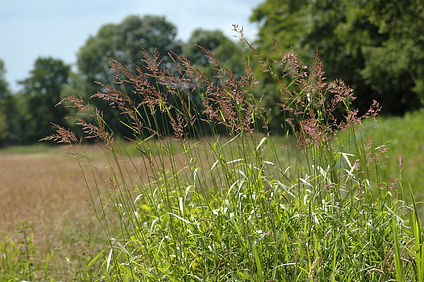Reed Canary Grass (Phalaris arundinacea)