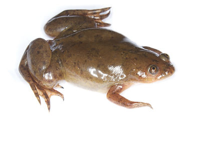 African Clawed Frog Xenopus laevis