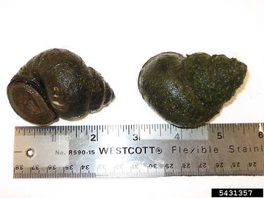 Chinese mystery snail (Cipangopaludina chinensis malleata)