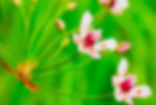 Pennsylvania iMapInvasives, tracked species, categories, flowering rush, Butomus umbellatus.
