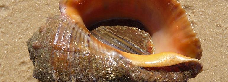 Veined Rapa Whelk (Rapana venosa)