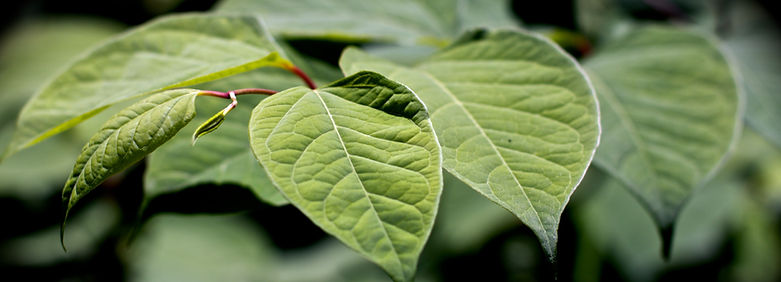 Japanese knotweed (Fallopic japonica)