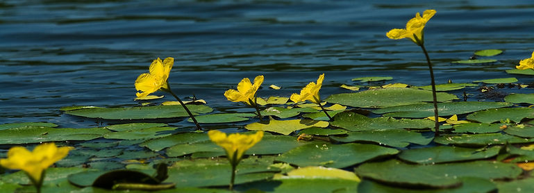Yellow floating heart (Nymphoides peltata)