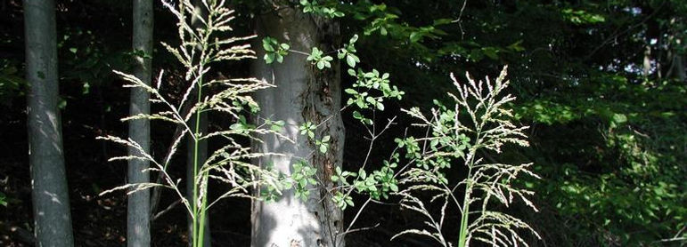 Water chestnut (Trapa natans)