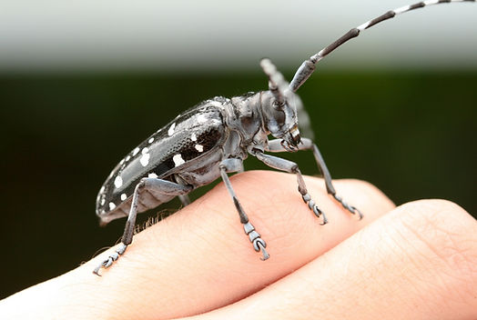 Pennsylvania iMapInvasives, Be on the Lookout, Asian Longhorned Beetle, report your findings