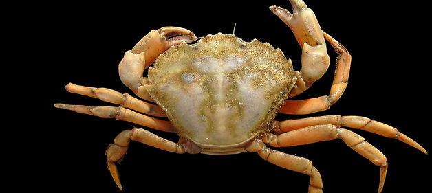 Green crab (Carcinus maenas)