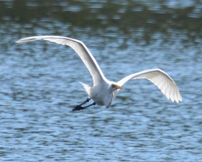 Grear Egret