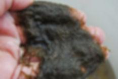 Black Mat Alga Lyngbya wollei (Plectonema wollei)