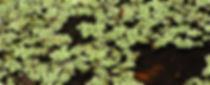 common salvinia (salvinia minima)