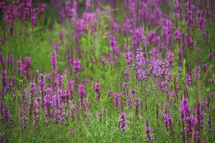 Purple loosestrife, Lythrum salicaria, Pennsylvania noxious weed