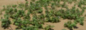 Beach Vitex (Vitex rotundifolia)