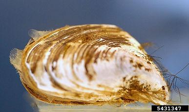 Quagga mussel (Dreissena bugensis)