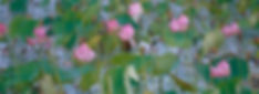 Pink Lotus (Nelumbo nucifera)