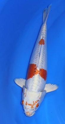 30cm Doitsu Hariwake Ref B96