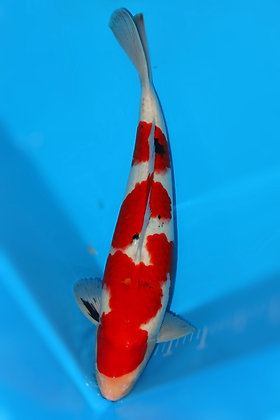49cm Male Sanke Ref A241