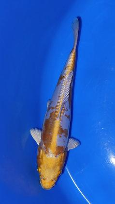 23cm Doitsu Hariwake Ref A43