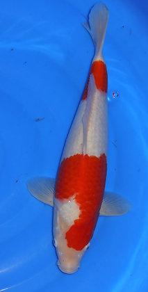 39cm Kohaku Ref B51