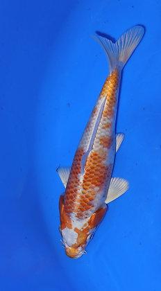 20cm Hariwake Ref A65